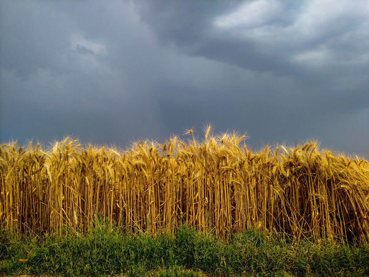 wheat crop and rainy clouds in the background showing the environmental benefits of organic farming   Agrrro